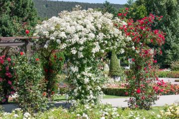 Lebensraum Garten, Mixture (Mix), rambler, rose (Genus), Rose garden, View in the garden