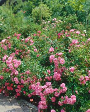 Ground cover rose, Shrub rose