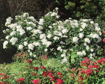Ground cover rose, long stemmed, rose (Genus)