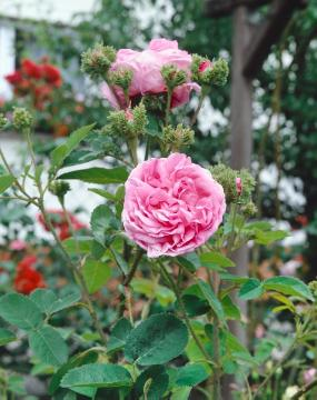 Provence Rose, Rosa gallica, Shrub rose