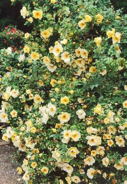 Rosa spinosissima, Shrub rose