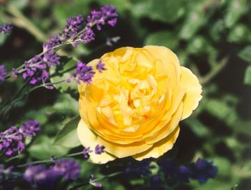 English Rose, lavender (Genus), single flower