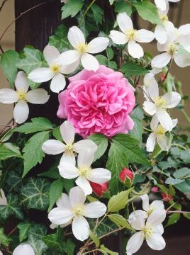 Clematis montana, English Rose, single flower
