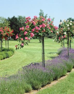 lavender (Genus), long stemmed, Rose garden