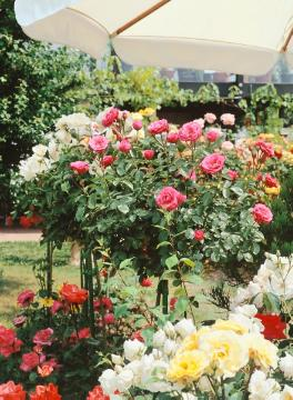 long stemmed, Rose garden