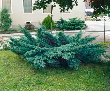 conifer, Juniperus (Genus), Juniperus x pfitzeriana
