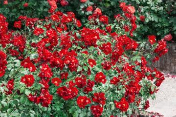 Ground cover rose, rose (Genus), Shrub rose