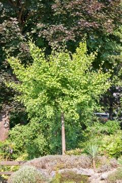 Conifer, Ginkgo (Genus), long stemmed, Maidenhair Tree