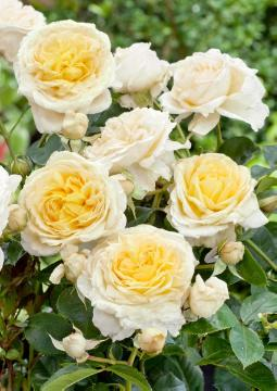 Hybrid Tea, rose (Genus)
