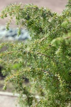 Common Juniper, conifer, Juniperus (Genus)