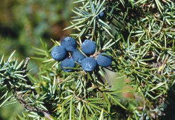 Common Juniper, Fruit