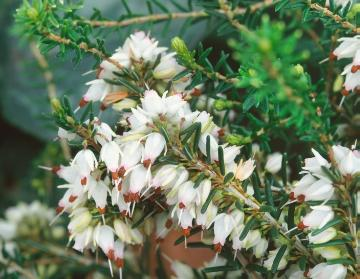Close up of flower petals, Erica carnea, Fall plants