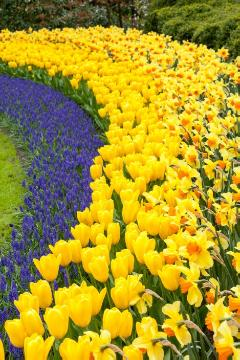 fosteriana tulips, grape hyacinth (Genus), Large Cupped Daffodil