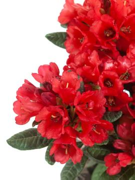 Forrest's Rhododendron, white background
