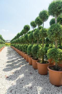 Baumschulware, topiary pruning, tree nursery, x Cuprocyparis (Genus)