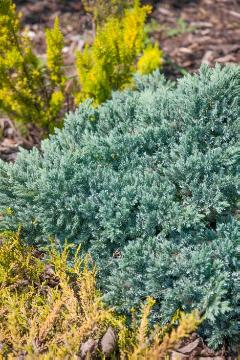 Blue Star Juniper «Juniperus (Genus)»