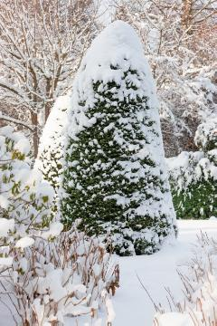 Picea glauca Conica, snow, Winter, Winterlandschaft