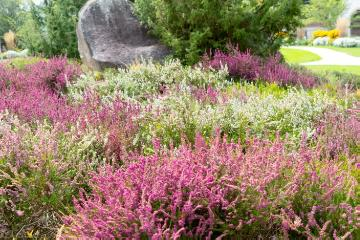 Calluna vulgaris, Plants for Acid Soil