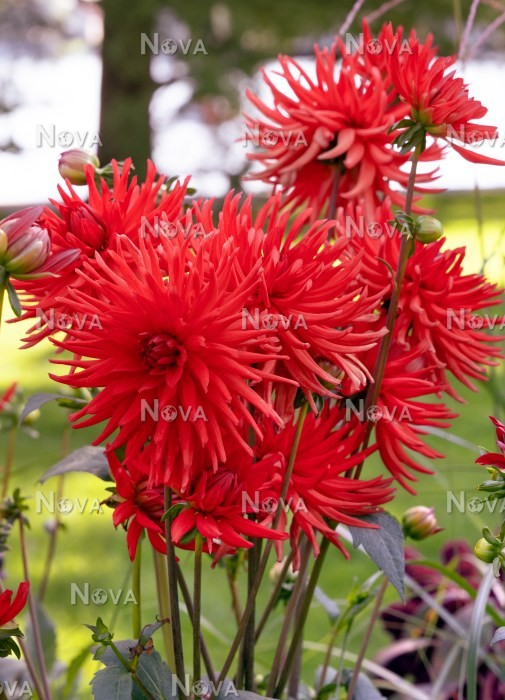 N1925237 Dahlia Cactus Red Spider