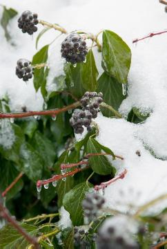 Common Ivy, Frost, Ice, impression, Winter impression, Winter
