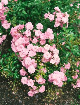 Ground cover rose, rose (Genus)