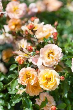 Ground cover rose