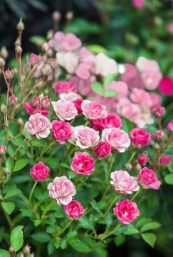 Miniature rose, Shrub rose