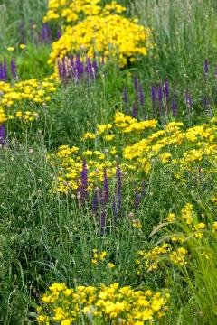 Bachelor's Button, Linum flavum, Wildblumen, Woodland Sage