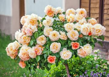 long stemmed rose, Shrub rose