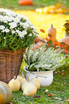 Autumn, basket, Calluna vulgaris, Chrysanthemum (Genus), Fall plants, Herbstdekoration, herbstlich, Plant container «Accessories in the Garden», plant container «Gefäße», Vegetable Pumpkin