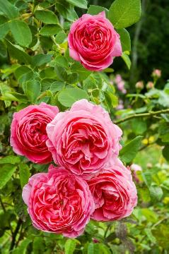 rose (Genus), Shrub rose