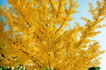 Autumn, fall foliage, Maidenhair Tree