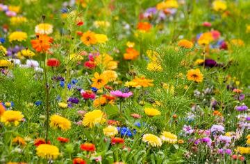 Bachelor's Button, Flower meadow, Ruddles, zinnia