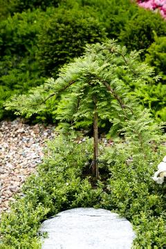 long stemmed, Taxodium distichum