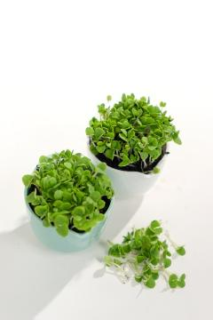 Basil Corsican, Sprouting Seeds, white background