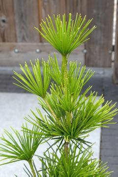 topiary pruning, Umbrella Pine