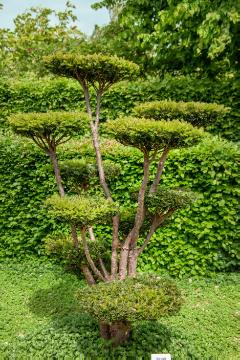 pruning, Taxus baccata, topiary pruning