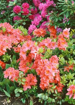 Rhododendron mollis