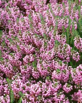 Cornwall Heather