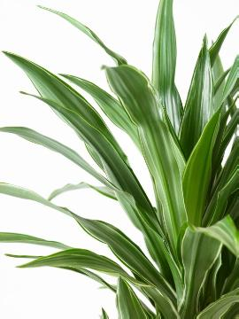 Dracaena fragrans, white background, Wyss