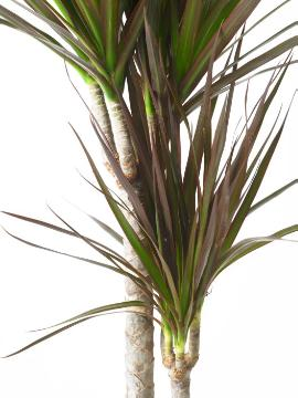 Dracaena reflexa var. angustifolia, white background, Wyss