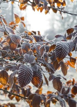European Hornbeam, impression, Winter impression, Winter