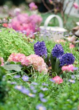 atmosphere, Brachyscome (Genus), hyacinth (Genus), hydrangea (Genus), impression