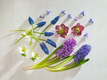Frühlingsblüher, Helleborus orientalis, Hyacinthus (Genus), Muscari armeniacum, white background