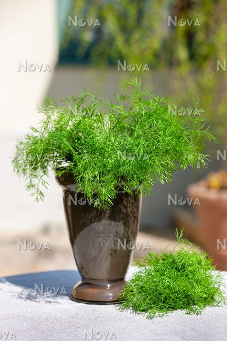 N1713270 Anethum graveolens in pot