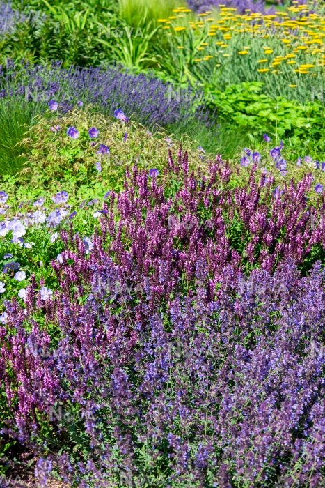 N0929550 Planting with Nepeta and Salvia