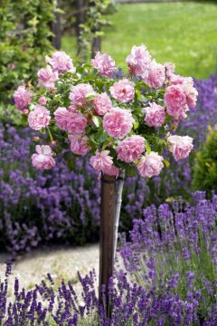 Lavandula angustifolia, long stemmed rose