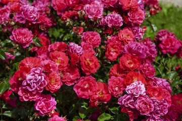 Floribunda rose, Ground cover rose