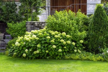Hydrangea arborescens, lady's mantle, Taxus baccata