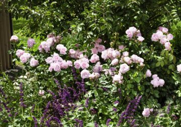 Shrub rose, Woodland Sage